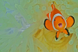 A Clownfish looking like its just been busted for doing s... by Steve De Neef 